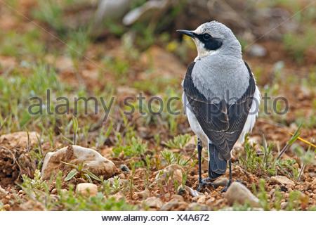 northern wheatear (Oenanthe oenanthe), male sitting on the ground, Turkey, Nigde, Aladaglar, Demirkazik - Stock Photo