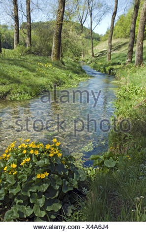 Scenery, brook, marsh marigolds, Caltha palustris, Germany, home Eder, home Hürn, trout brook, waters, stream course, water, clearly, purely, cleanly, chilly, trees, plants, flowers, wild plants, blossoms, yellow, blossom, buttercup family, marsh marigold - Stock Photo