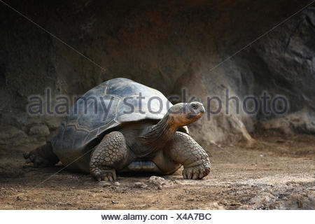 Galápagos giant tortoise (Chelonoidis nigra), Loro Parque, Puerto de la Cruz, Tenerife, Canary Islands, Spain - Stock Photo