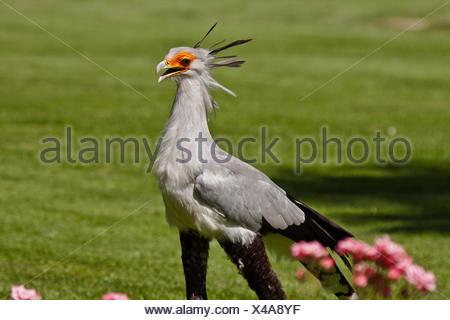 Secretarybird (Sagittarius serpentarius) - Stock Photo