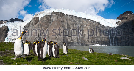 King Penguins at breeding colony. Gold Harbour, South Georgia, South Atlantic - Stock Photo