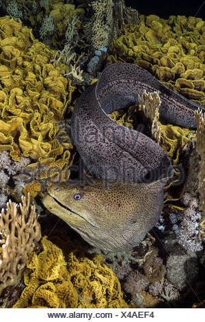 Giant Moray, Gymnothorax javanicus, Marsa Alam, Red Sea, Egypt - Stock Photo