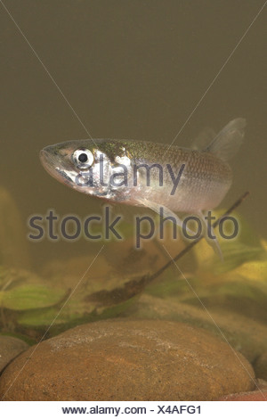 vertical photo of a swimming European Smelt underwater - Stock Photo