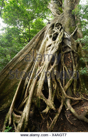 Buttress roots of the Stranger Fig (Ficus subgenus Urostigma) in the Rincon de La Vieja National Park, Guanacaste, Costa Rica - Stock Photo