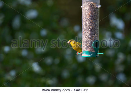 western greenfinch (Carduelis chloris), at a bird feeder, feeds grains at a meal  bulk hopper, Germany - Stock Photo