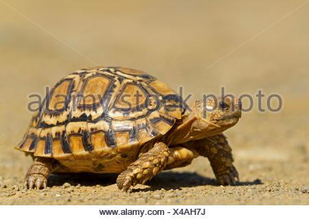 leopard tortoise (Geochelone pardalis, Stigmochelys pardalis), walking, South Africa, Hluhluwe-Umfolozi National Park, Mpila Camp - Stock Photo