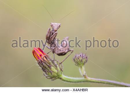 European dwarf mantis - Stock Photo