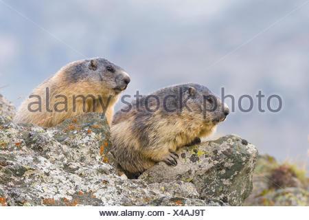 Alpine Marmots (Marmota marmota) on rocks, National Park Hohe Tauern, Carinthia, Austria - Stock Photo