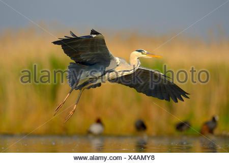 grey heron (Ardea cinerea), landing in a lagoon, Hungary - Stock Photo