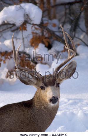 Mule Deer in winter - Stock Photo