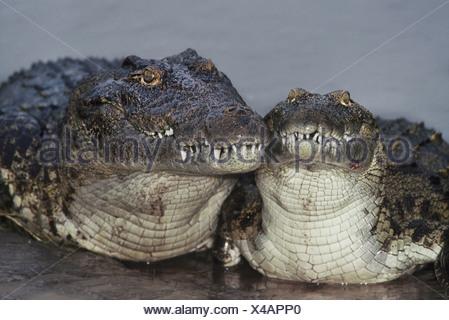 Nile crocodiles Crocodylus niloticus Botswana Chobe National Park Botswana - Stock Photo