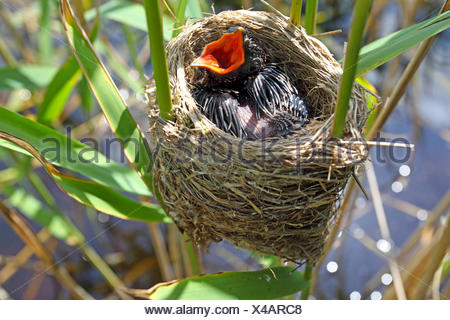 Eurasian cuckoo (Cuculus canorus), chick in the nest of a reed warbler, Germany - Stock Photo