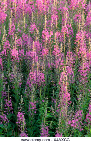 Fireweed (Epilobium angustifolium), Vomp, Tyrol, Austria, Europe - Stock Photo
