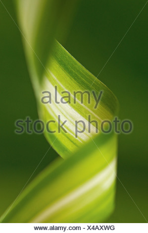 Chlorophytum comosum, Spider plant - Stock Photo