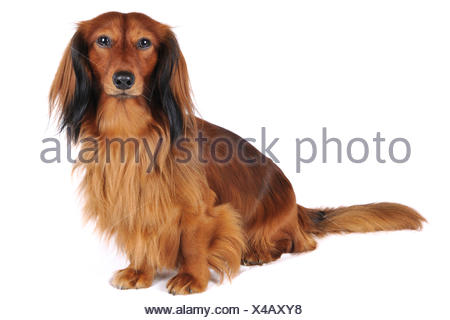 Long-haired Dachshund, Long-haired sausage dog, domestic dog (Canis lupus f. familiaris), full-length portrait, Germany - Stock Photo