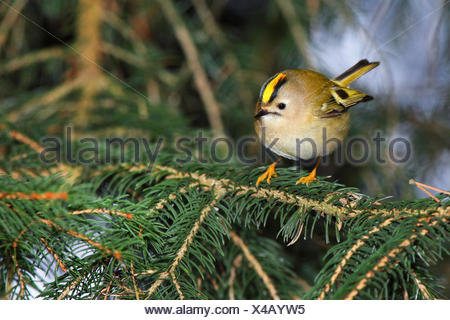 goldcrest (Regulus regulus), male on a twig, Germany - Stock Photo