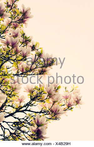 Magnolia, Pink flowers on tree subject, White background - Stock Photo