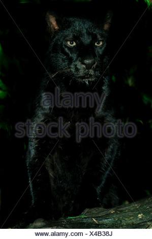Black Jaguar Panthera onca - Stock Photo