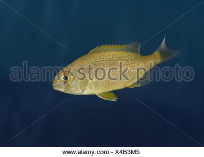 Couch's Sea Bream - Pagrus pagrus - Stock Photo