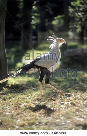 zoology / animals, avian / birds, Secretary Bird, (Sagittarius serpentarius), walking, distribution: Africa, animal, bird of pre - Stock Photo