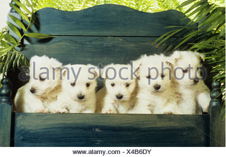 five West Highland White Terrier - puppies sitting on bank - Stock Photo