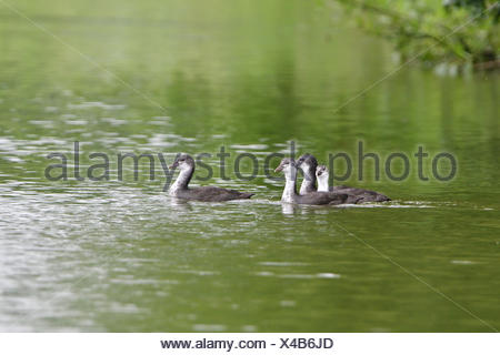 Young Eurasian Coot - Stock Photo