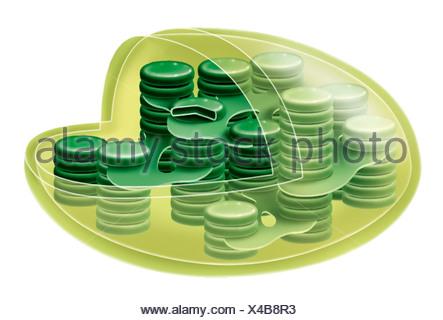 CHLOROPLAST - Stock Photo