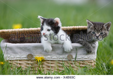 domestic cat, house cat, European Shorthair (Felis silvestris f. catus), two 5 weeks old kitten climbing out of a basket, Germa - Stock Photo