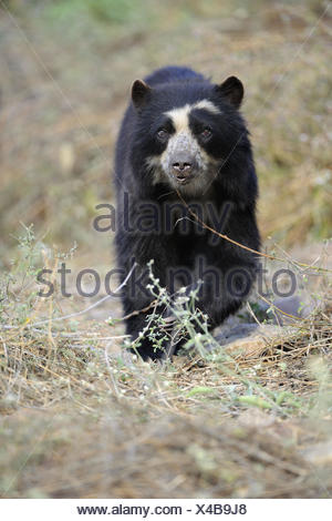 Spectacled bear (Tremarctos ornatus) Chaparri Ecological Reserve, Peru, South America - Stock Photo