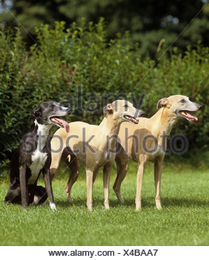 three Whippets on meadow - Stock Photo