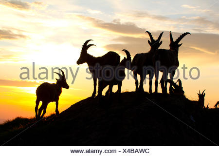 Alpine ibex (Capra ibex, Capra ibex ibex), silhouette of a group against sunrise, Switzerland, Alpstein - Stock Photo