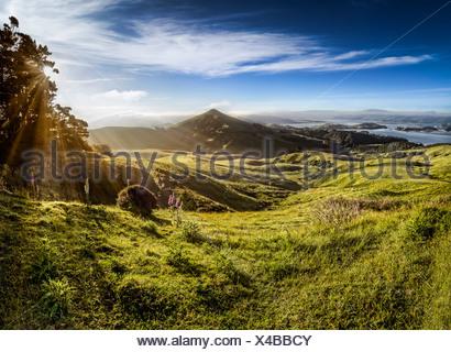 Sheep grazing meadows in raking light, sun rays of the warm morning sun, Hoopers Inlet Bay, Otago Peninsula, South Island - Stock Photo