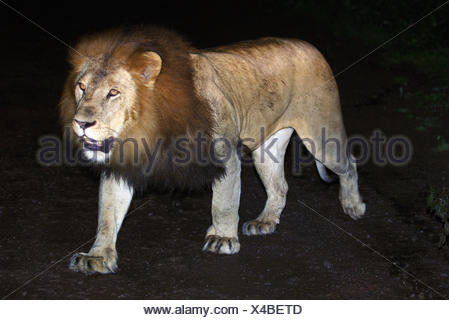 A male black-maned Ethiopian lion in the Harenna Forest of Bale Mountains National Park, Ethiopia. - Stock Photo