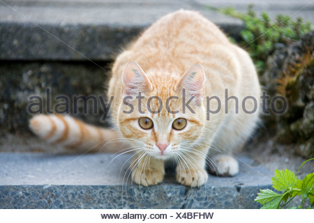 European shorthair cat is sitting on a stair - Stock Photo