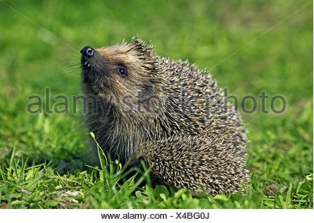 European Hedgehog, erinaceus europaeus, Female smelling, Normandy in France - Stock Photo