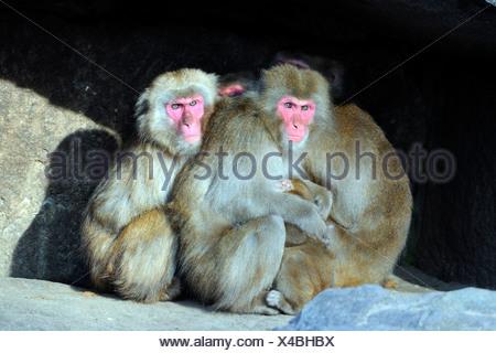 Japanese Macaques, Macaca fuscata - Stock Photo