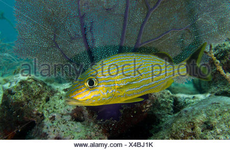 Solitary grunt in the shadow of a Sea fan. - Stock Photo