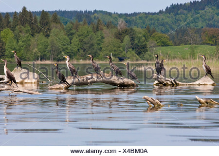 great cormorant (Phalacrocorax carbo), group sitting on dead wood in a lake, Germany, Bavaria, Staffelsee - Stock Photo