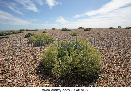 Crambe maritima, Sea-kale, Green. - Stock Photo