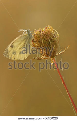 Green-veined White (Pieris napi), Bad Hersfeld, Hesse - Stock Photo