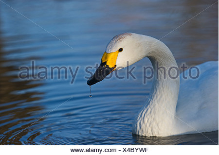 Bewick's Swan Cygnus columbianus Slimbridge Glos winter - Stock Photo