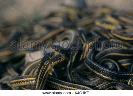 Mating ball of Red-sided garter snakes in spring coming out of hibernation near Inwood, Manitoba, Canada - Stock Photo