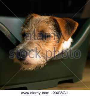 A Parson Russell terrier dog, resting in its basket - Stock Photo