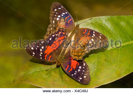 Close-up of two Scarlet Mormon Swallowtail butterflies (Papilio rumanzovia) mating - Stock Photo