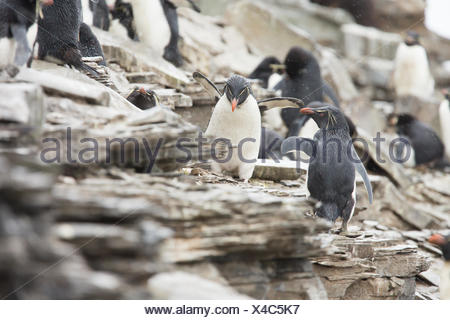 Western Rock Hopper Penguins (Eudyptes chrysocome) on cliff path in storm returning to colony after fishing trip, Falkland Islands, Sea Lion Island - Stock Photo