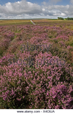 Ling heather calluna vulgaris Exmoor Devon UK - Stock Photo