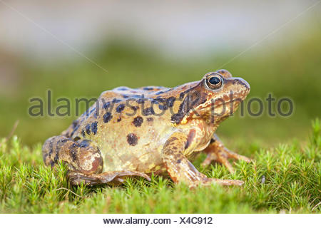 photo of a common frog on moss - Stock Photo