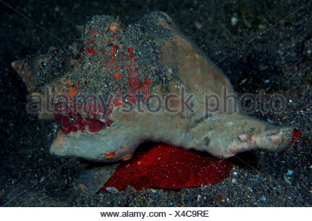 Trapezium Horse Conch (Pleuroploca trapezium) with red mantle protruding, Lembeh Strait, Sulawesi, Indonesia - Stock Photo
