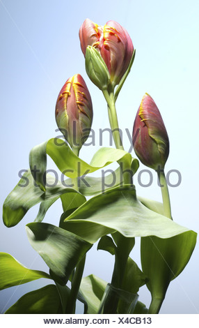 Parrot-tulips bloom close-up closed tulips Tulpia red yellow leaves background light-blue flora yellow-red red-yellow plants - Stock Photo