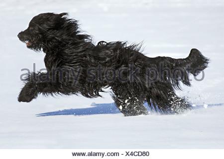 briard - running in snow - Stock Photo